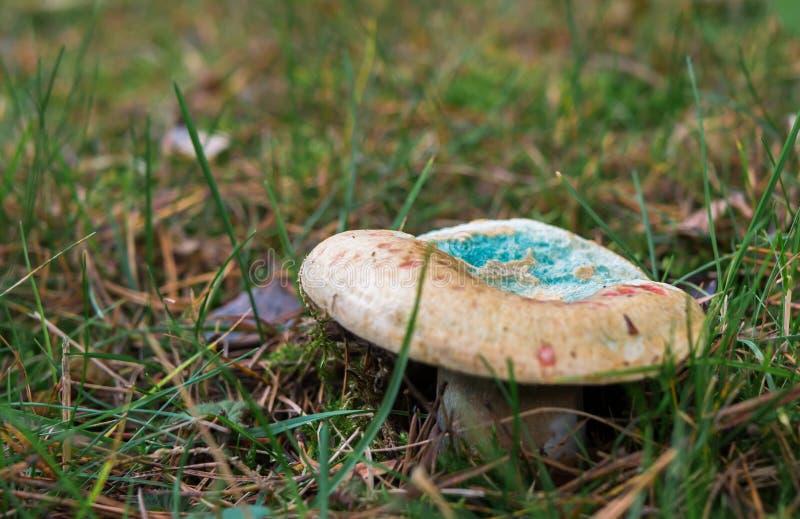 Cogumelo azul estranho em Forest Ground fotos de stock