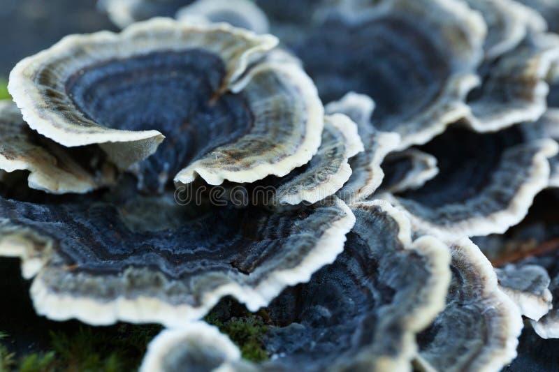 Cogumelo azul não comestível bonito da natureza do outono na árvore foto de stock