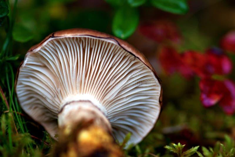 Download Cogumelo caído foto de stock. Imagem de caído, cogumelo - 26504910