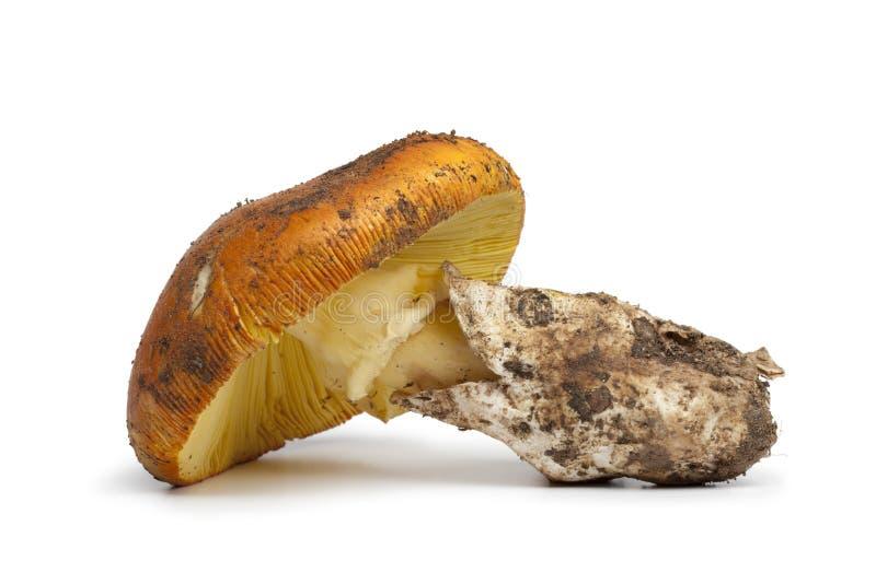 Cogumelo comestível fresco do amanita imagens de stock royalty free