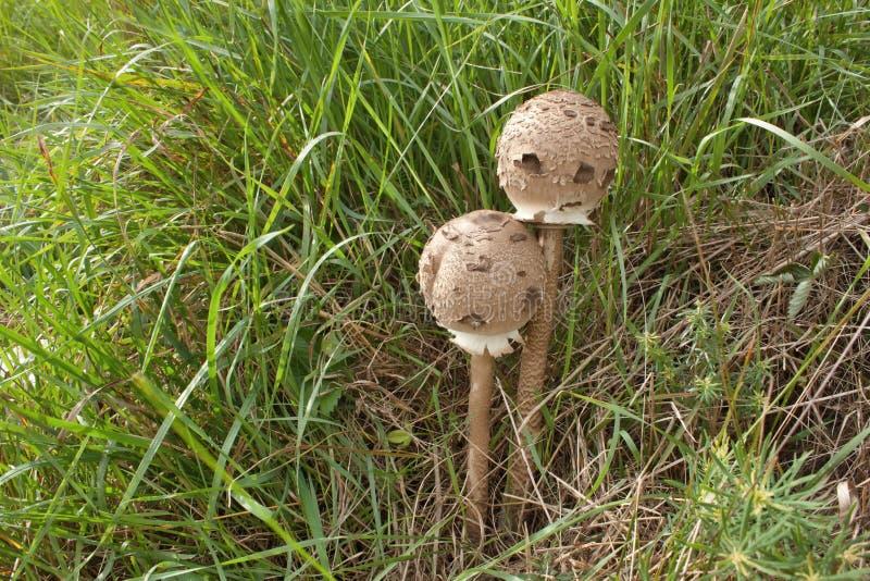 Cogumelo comestível na grama, outono imagens de stock