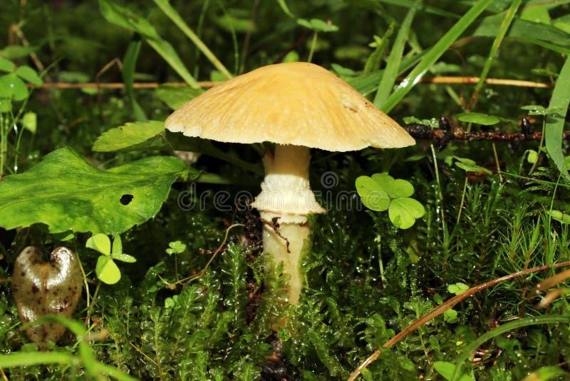 cogumelo condicionalmente comestível que cresce na floresta do verão do musgo fotografia de stock royalty free