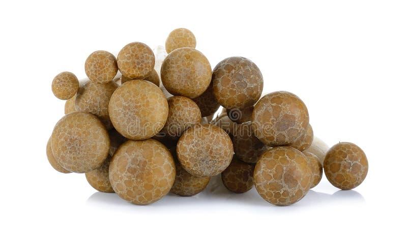 Cogumelo da faia de Brown isolado no fundo branco imagem de stock royalty free