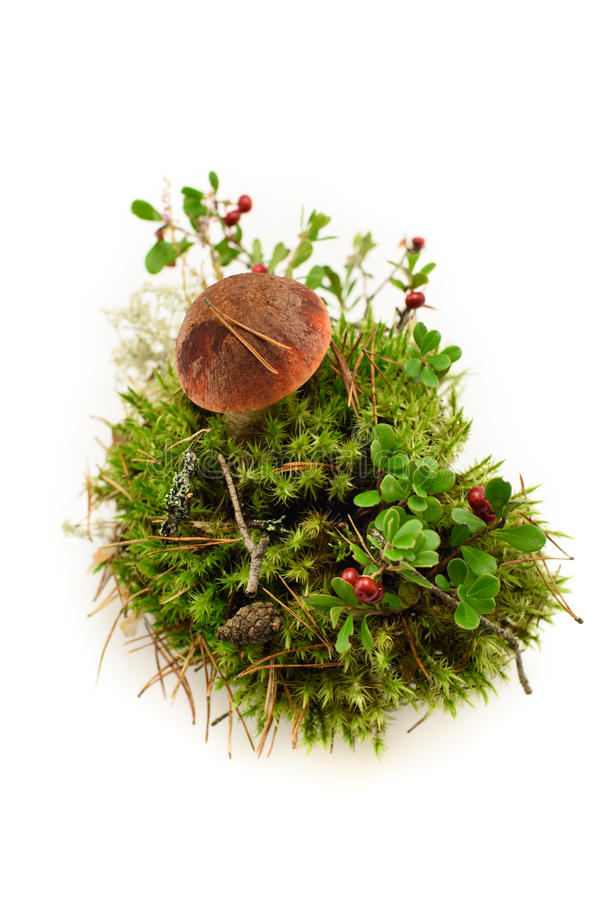 Cogumelo de Eadible um crenberry no musgo isolado no branco fotos de stock royalty free