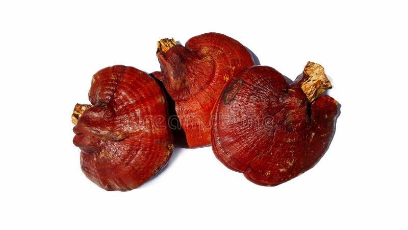 Cogumelo de Lingzhi isolado no fundo branco fotografia de stock