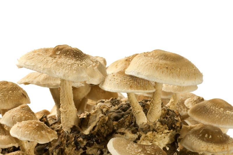 Cogumelo de Shiitake imagens de stock royalty free