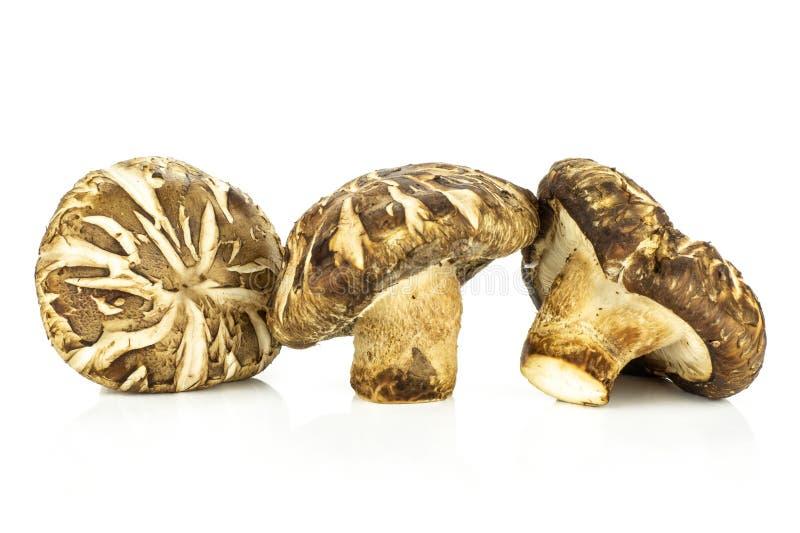 Cogumelo de shiitake cru fresco isolado no branco imagem de stock