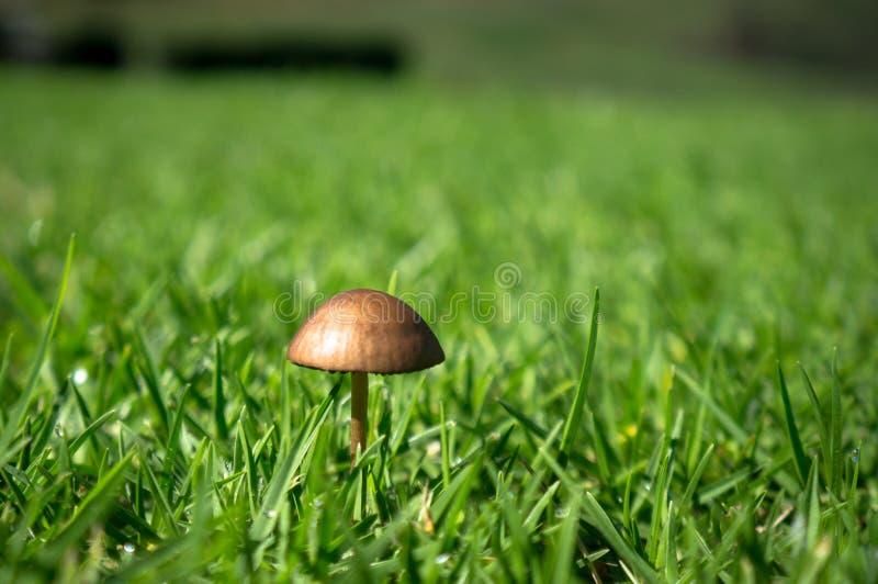 Cogumelo diminuto na grama verde fotos de stock