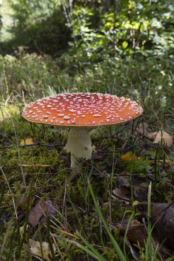 Cogumelo do amanita foto de stock