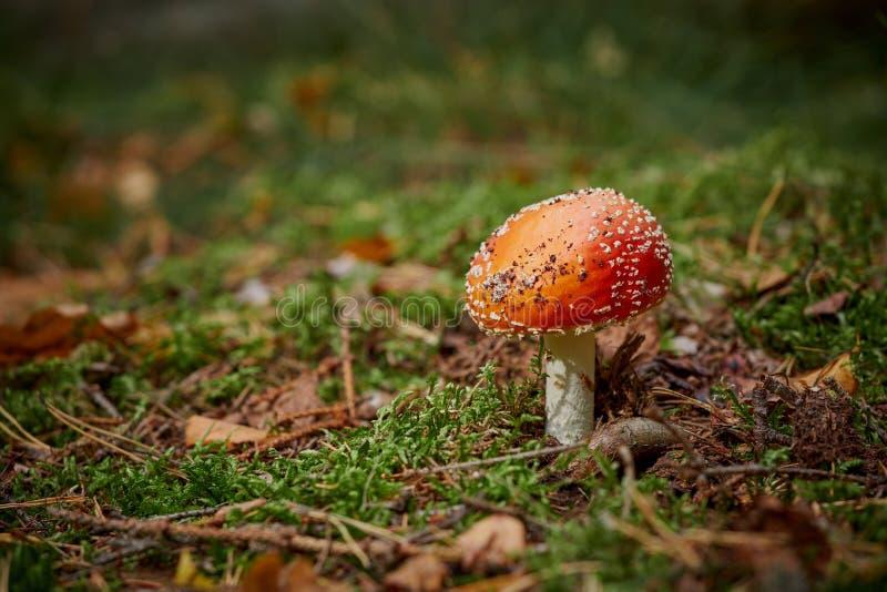 Cogumelo do amanita na floresta imagem de stock