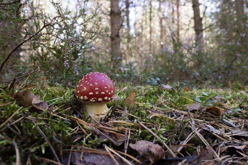 Cogumelo do amanita que cresce as madeiras fotografia de stock royalty free
