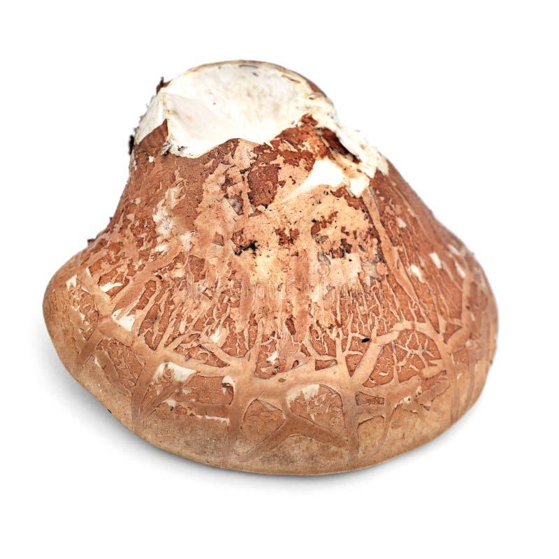 Cogumelo do betulina de Fomitopsis foto de stock