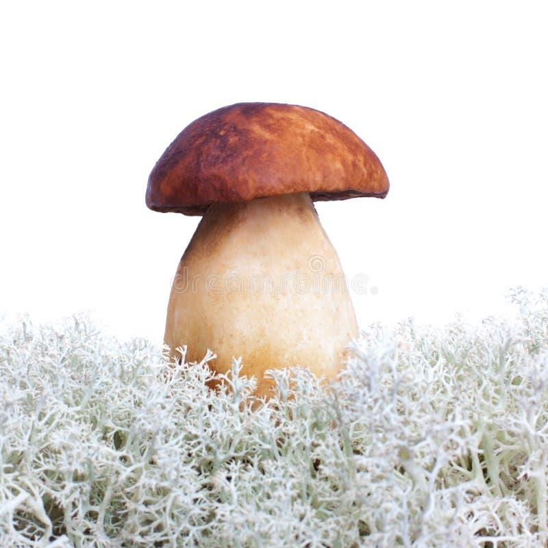 Cogumelo do boleto e musgo branco fotos de stock