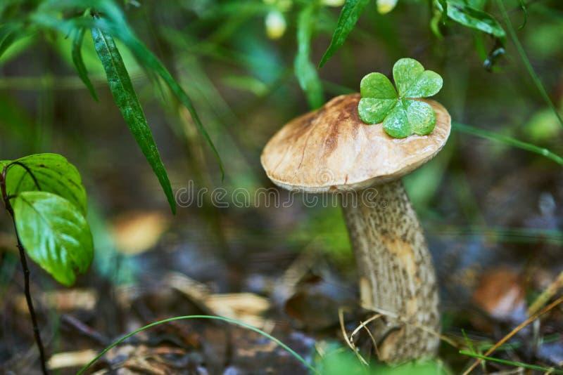 Cogumelo do cepa-de-bordéus do boleto em uma floresta fotos de stock royalty free