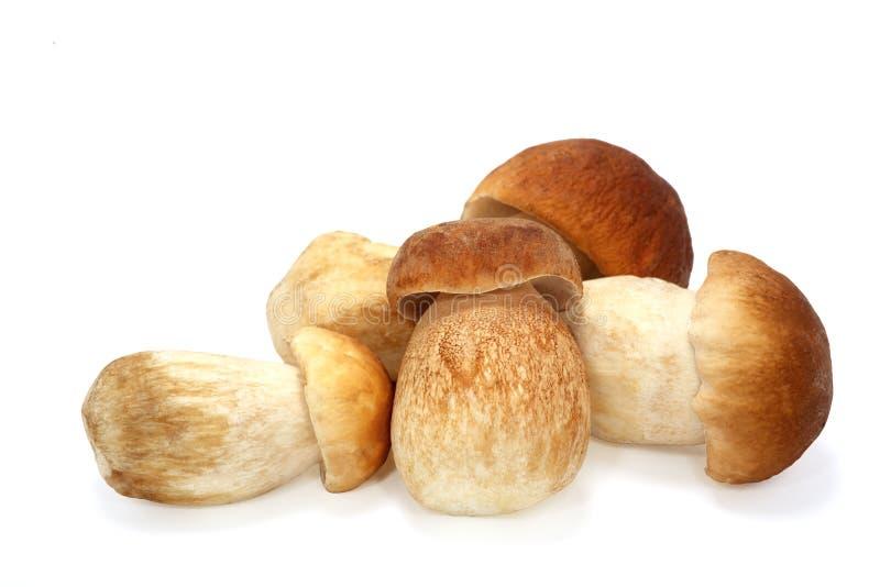Cogumelo do cepa-de-bordéus isolado no fim branco do fundo acima imagens de stock royalty free