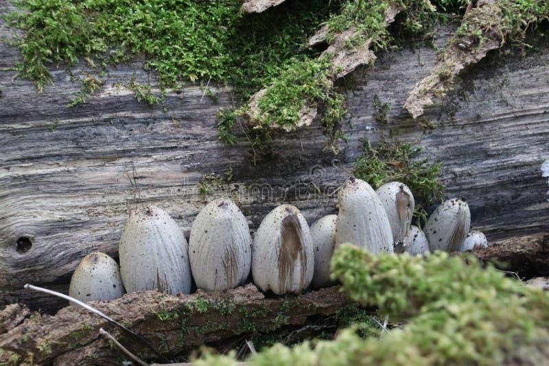 Cogumelo do conopilus de Psathyrella na floresta durante a estação do outono imagem de stock royalty free