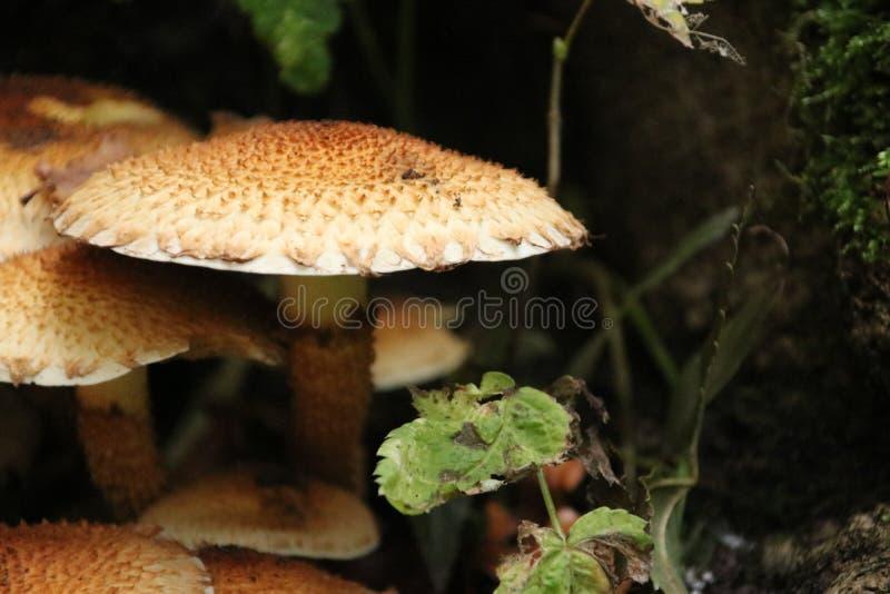 Cogumelo do conopilus de Psathyrella na floresta durante a estação do outono nos schollenbos em Capelle Aan Den Ijssel foto de stock royalty free