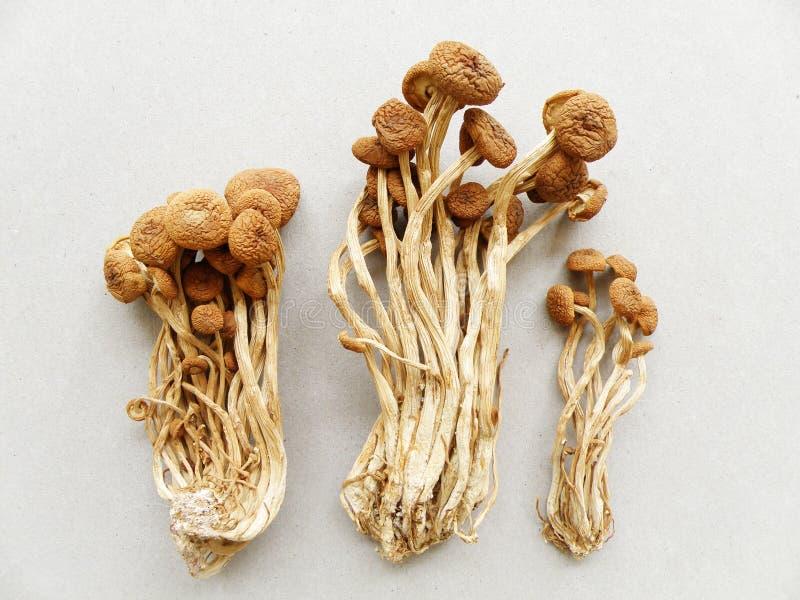 Cogumelo do salgueiro, secado foto de stock royalty free