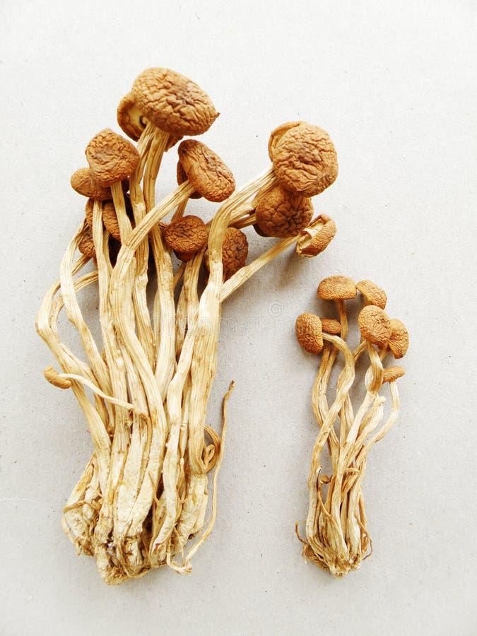 Cogumelo do salgueiro, secado fotos de stock
