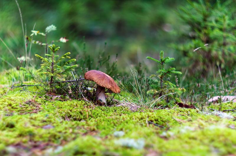 Cogumelo do tampão de Brown no musgo no verão imagens de stock royalty free