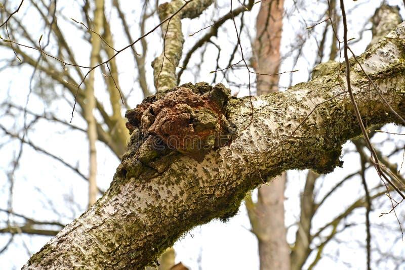 Cogumelo do vidoeiro de um chag Inonotus Ach obliquus Pers ex Pil Em um tronco de árvore imagens de stock