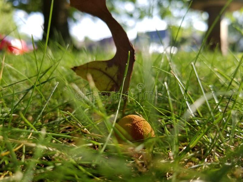 Cogumelo e folha gramíneos fotografia de stock