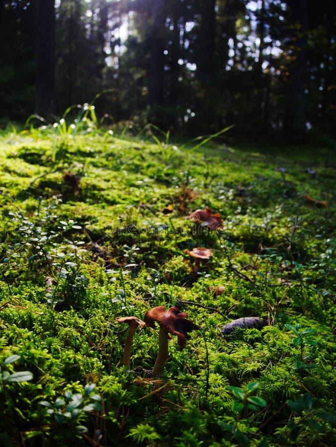 Cogumelo na floresta imagem de stock