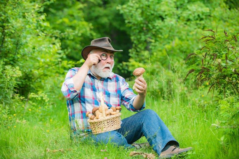 Cogumelo na floresta, homem superior que recolhe cogumelos no avô da floresta com a cesta dos cogumelos e do a foto de stock