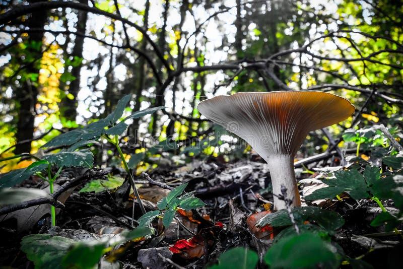 Cogumelo nas madeiras fotografia de stock