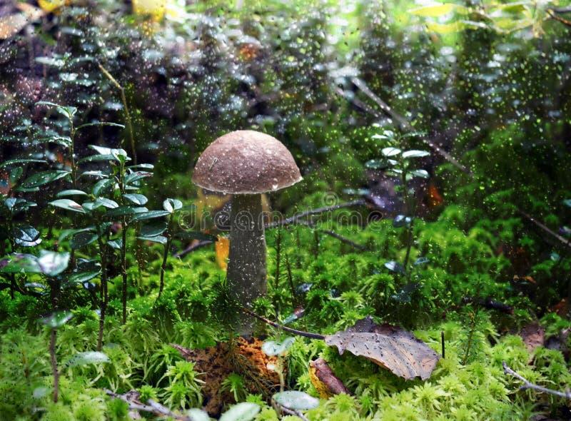 Cogumelo, natureza, outono, floresta, fungo, alimento, cogumelo venenoso, vermelho, boleto, musgo, marrom, tampão, grama, fungos, fotografia de stock royalty free