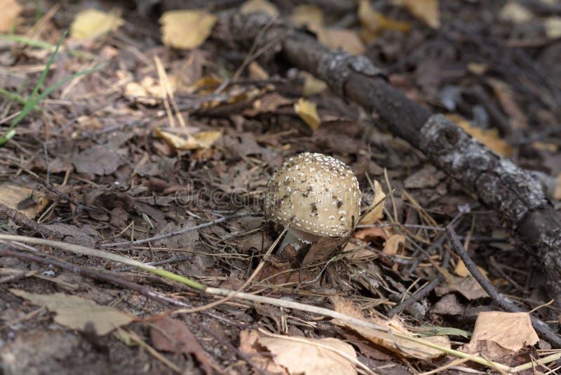 Cogumelo novo com marrom manchado levemente, tampão abobadado do panthercap fotografia de stock