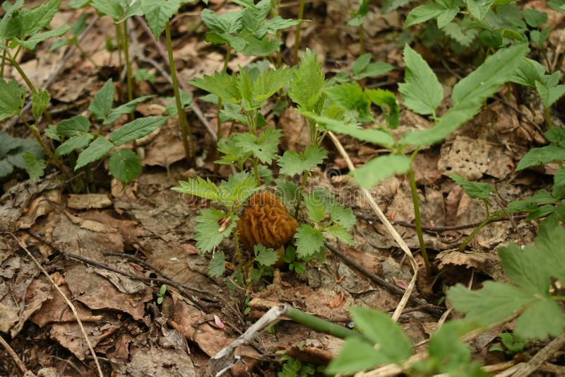 Cogumelo novo, pequeno, enrugado que faz sua maneira através da folha seca imagens de stock