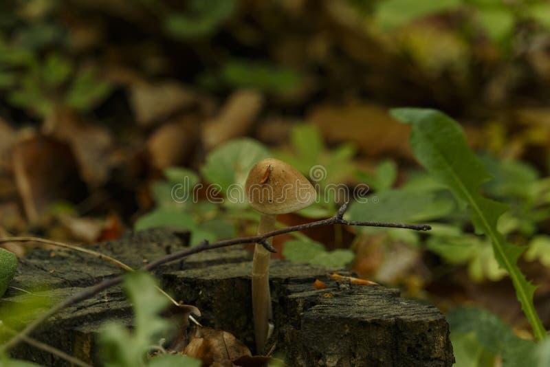 Cogumelo pequeno de Wisconsin que cresce na madeira rotted imagens de stock