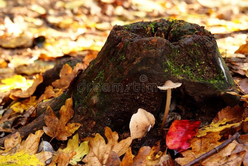 Cogumelo perto do log de madeira imagem de stock