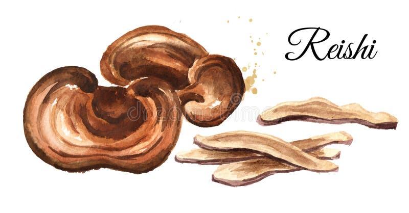 Cogumelo secado do lucidum do ganoderma de Reishi com fatias Ilustração tirada mão da aquarela isolada no fundo branco ilustração stock