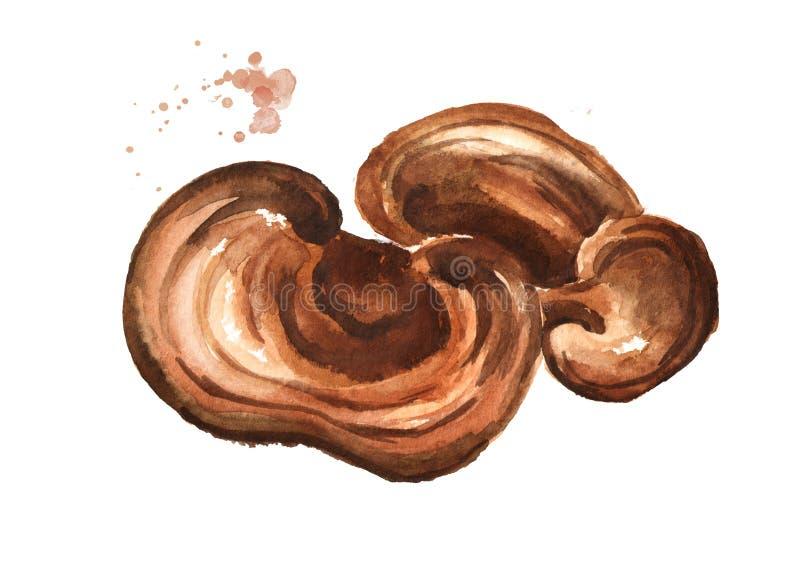 Cogumelo secado do lucidum do ganoderma de Reishi Ilustração tirada mão da aquarela isolada no fundo branco ilustração royalty free