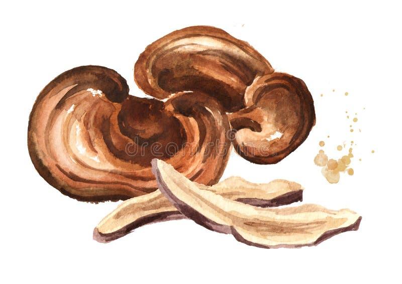 Cogumelo secado orgânico do lucidum do ganoderma de Reishi com fatias Ilustração tirada mão da aquarela isolada no fundo branco ilustração do vetor