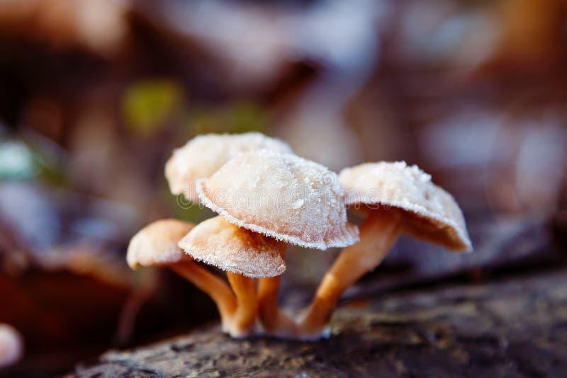 Cogumelo selvagem coberto com a geada foto de stock royalty free