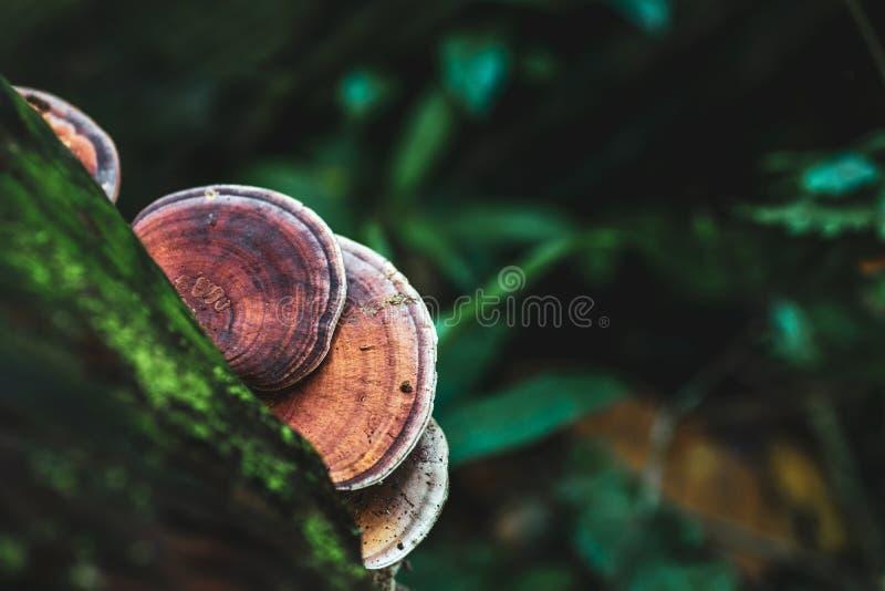 Cogumelo selvagem de Brown em uma árvore na floresta tropical no parque nacional Tailândia de yai do khao imagem de stock royalty free