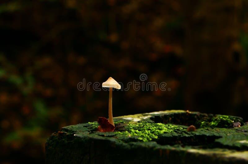 Cogumelo solitário imagem de stock