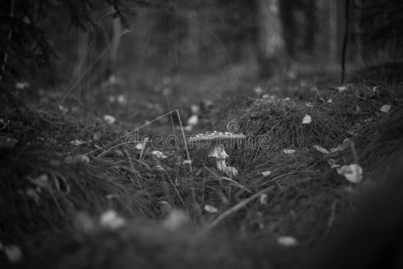 Cogumelo sueco fotos de stock