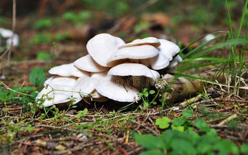 Cogumelo tóxico foto de stock