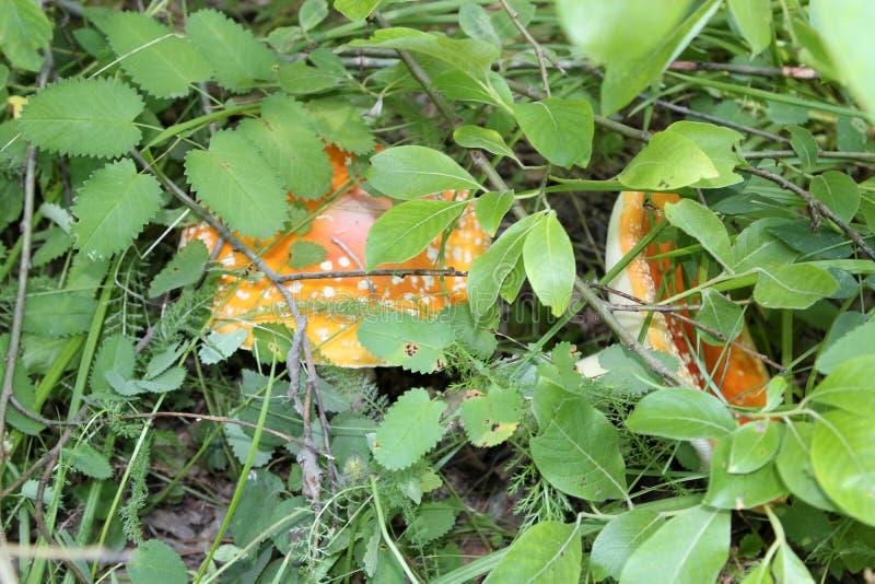 cogumelo  Taiga Siberian da floresta Lago Baikal Floresta do vidoeiro fotografia de stock royalty free