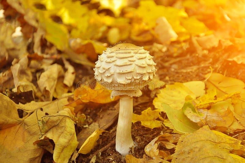 Cogumelo venenoso branco bonito dentro nas folhas amarelas, estação do outono O sol do outono est? brilhando Conceito da colheita imagens de stock