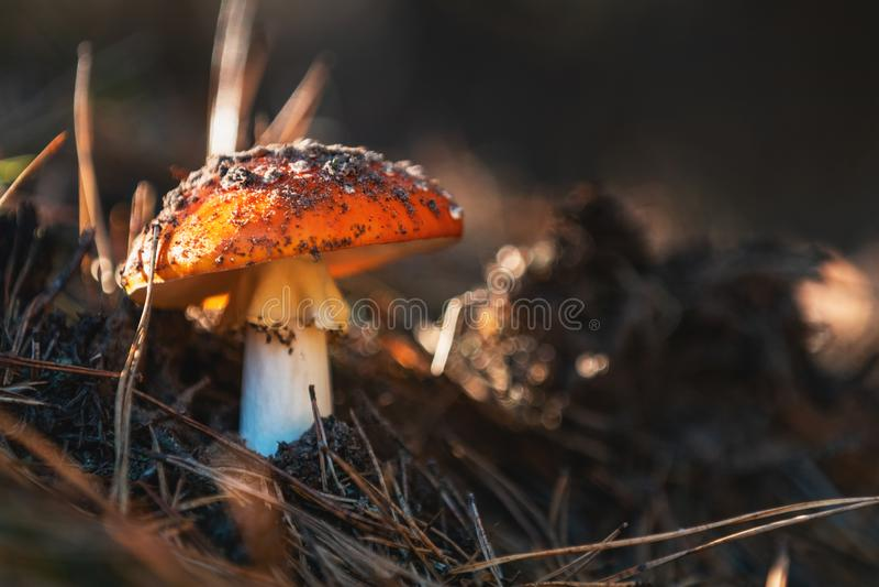 Cogumelo venenoso do amanita de mosca do agaric/de mosca na Europa Central foto de stock royalty free