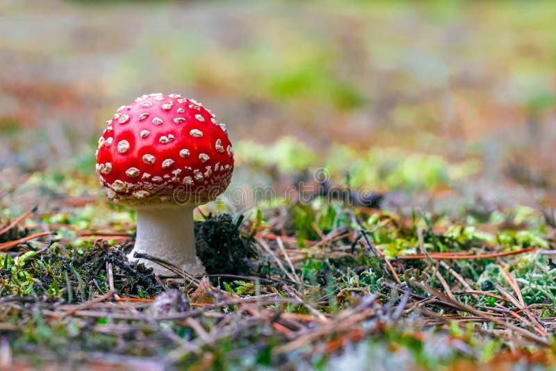 Cogumelo venenoso do muscaria do amanita fotos de stock royalty free