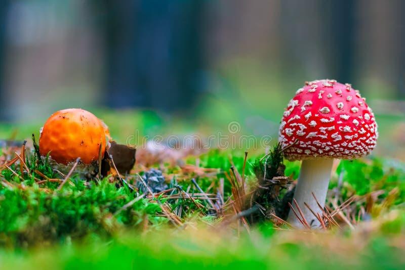 Cogumelo venenoso do muscaria do amanita imagem de stock