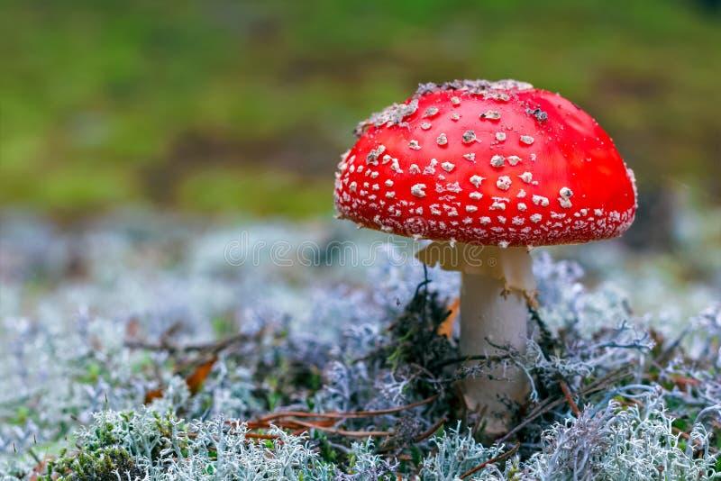 Cogumelo venenoso do muscaria do amanita fotografia de stock