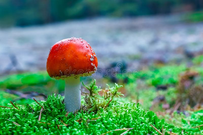 Cogumelo venenoso do muscaria do amanita imagens de stock royalty free