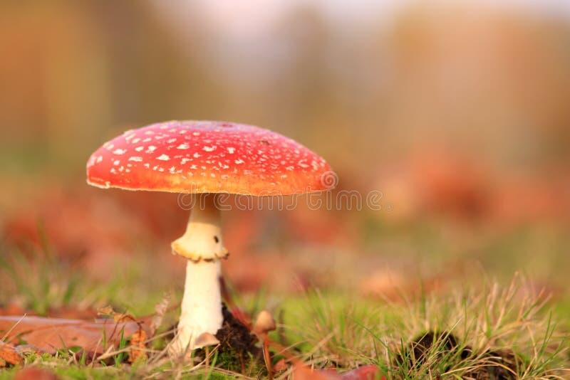 Cogumelo vermelho fotos de stock